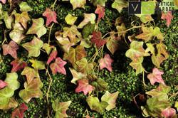 Planta Hera Rubra Artificial Vertical Garden-min