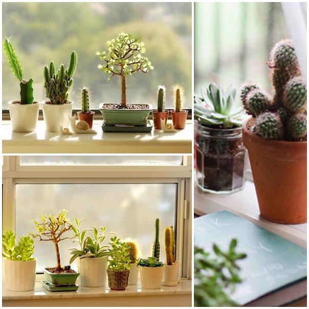 Plantas para Aparatamento Cactus