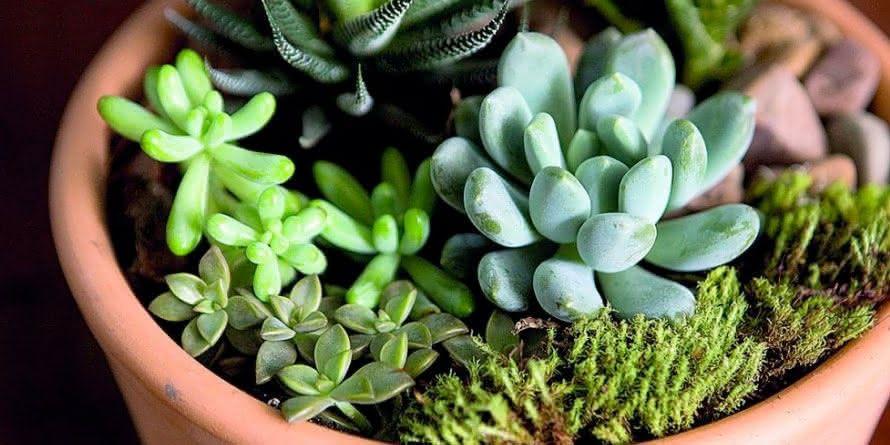 Plantas para Escritório Suculentas