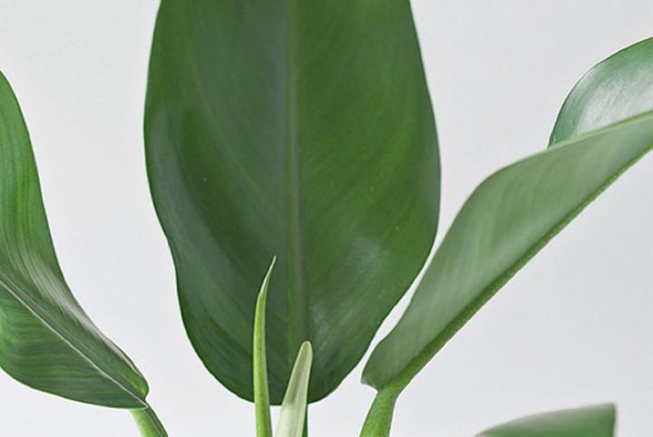 Plantas para apartamento - pacova