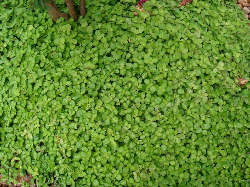 planta para telhado verde extensivo dinheiro em penca