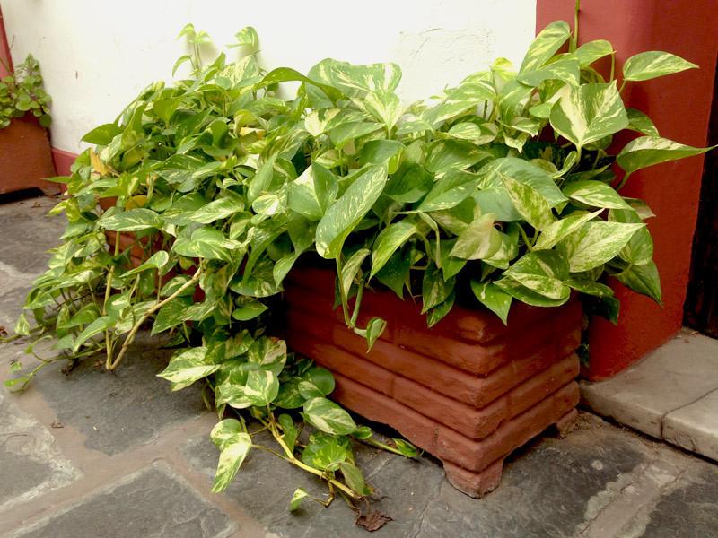 Planta para apartamento: Jiboia