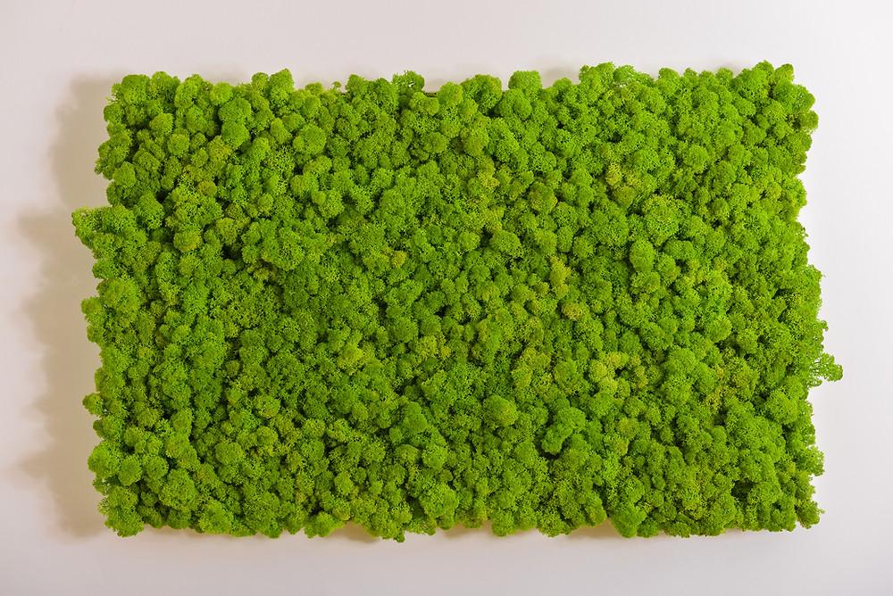 O que é musgo moss preservado