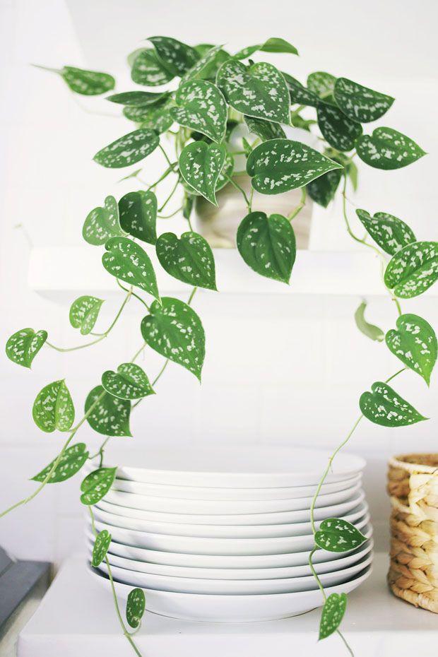 Planta para Apartamento Ivy