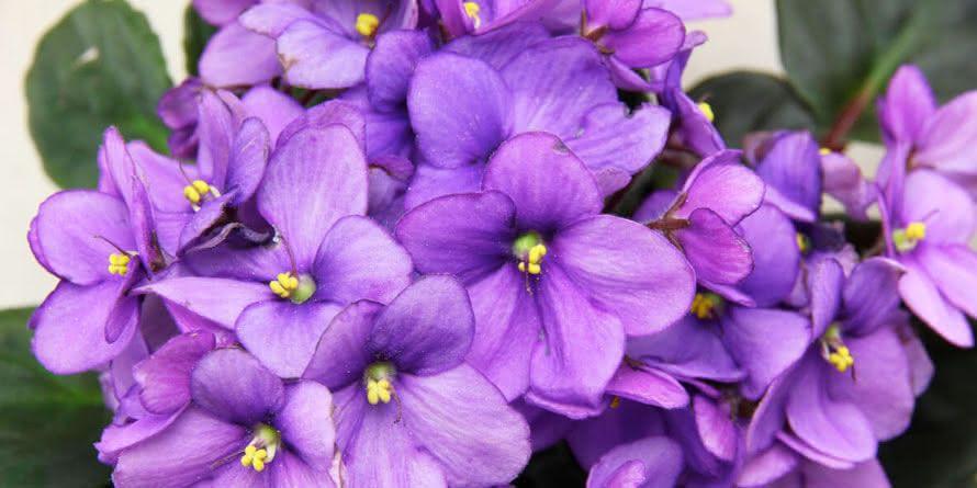Plantas para Escritório Violetas