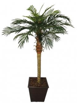palmeira phoenix preservada