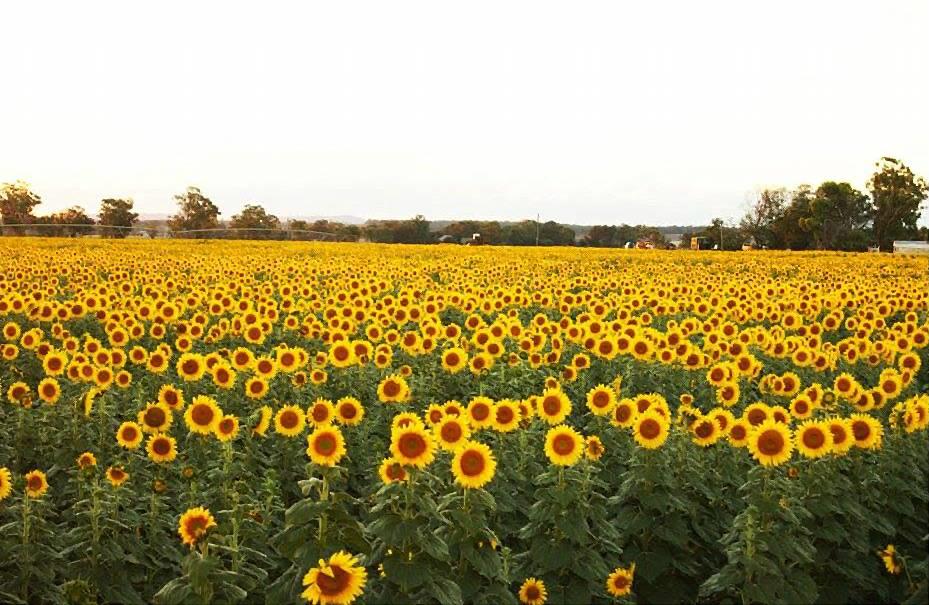 Liverpool Plains' sunflower fields