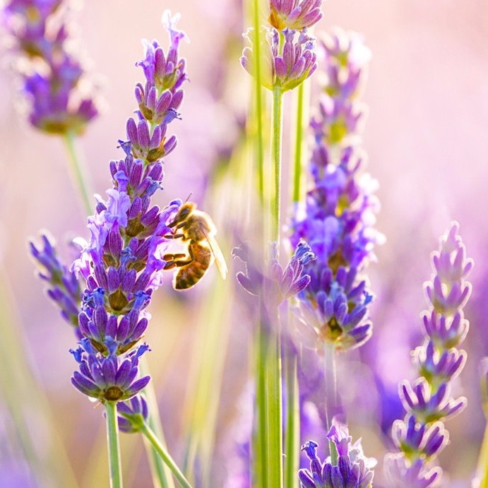 sunny-day-lavender-bee-picking-pollen-wide-hd-wallpaper_edited.jpg