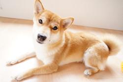 穏やかな表情でこちらを見ている華ちゃん(柴犬8ヶ月)の様子