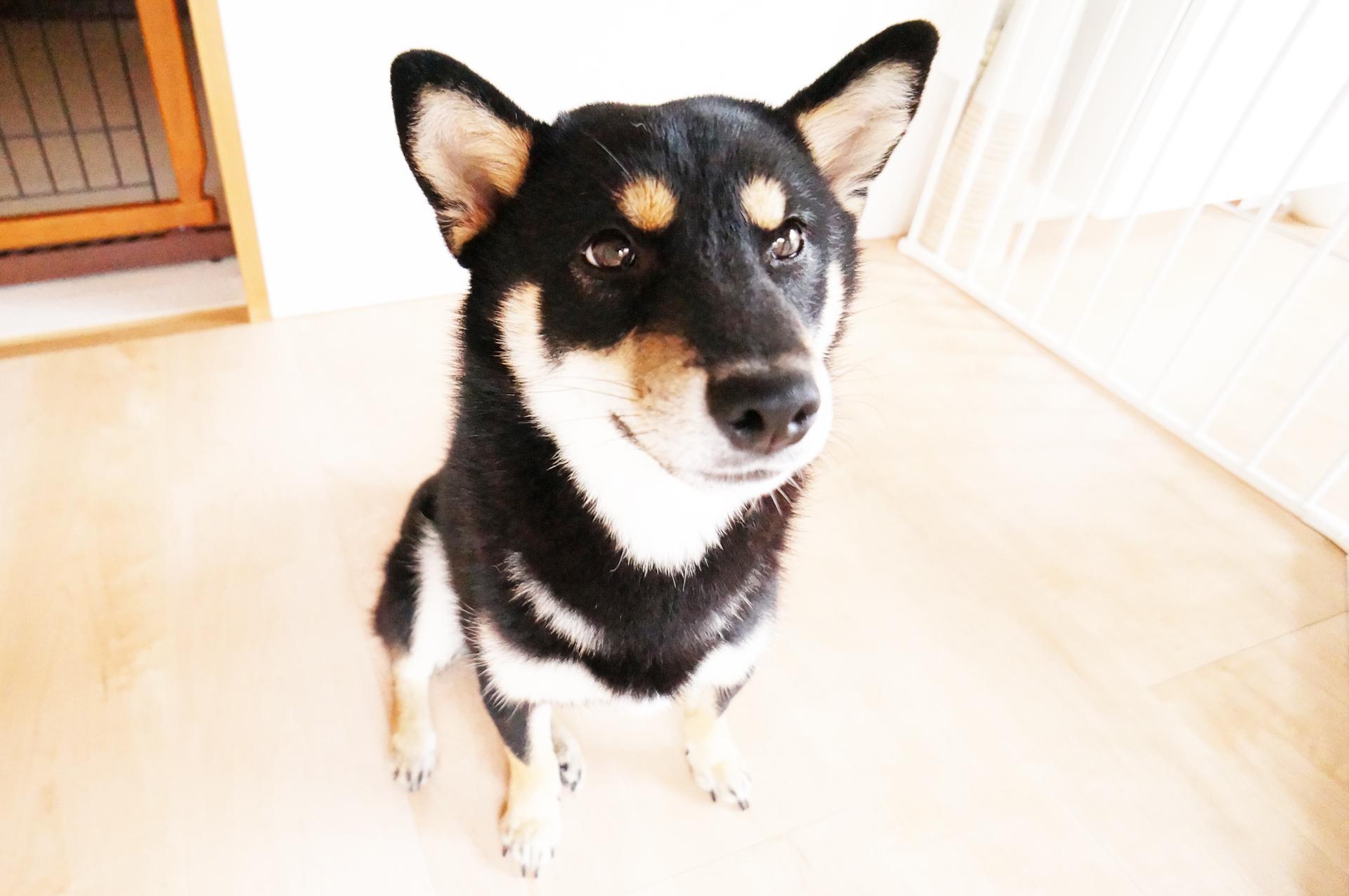 凛々しい表情でお座りしている夢ちゃん(柴犬8ヶ月)の様子