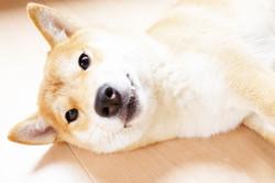 ゴロンと横になってこちらを見ている華ちゃん(柴犬8ヶ月)の様子