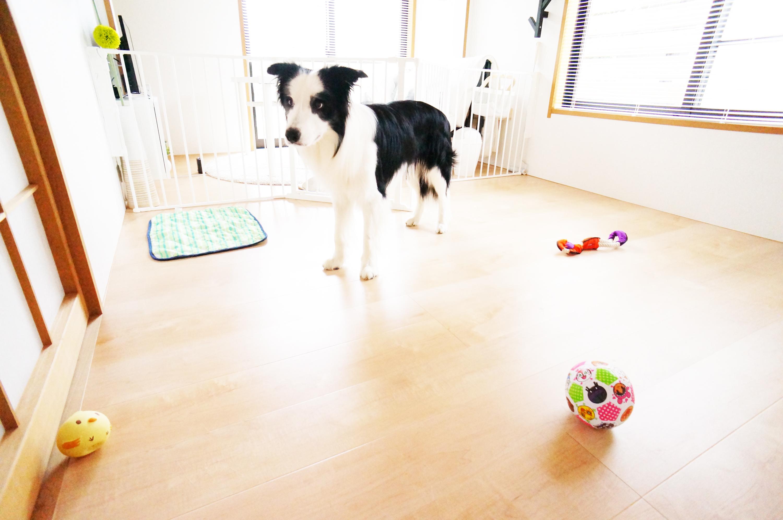 おもちゃで遊んでいるソルくん(ボーダーコリー)の様子