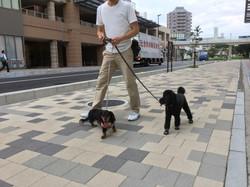 お散歩中の、れおくん(ミニチュアダックス)と看板犬のクーの様子