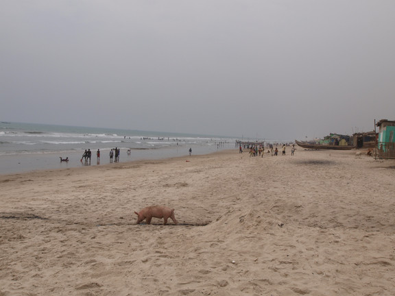 Pigs roam freely around on the beach. This pig has found a pipe discharge fecal sludge directly onto the beach.
