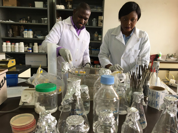 The laboratory team is preparing environmental samples to be analyzed for for E. coli.