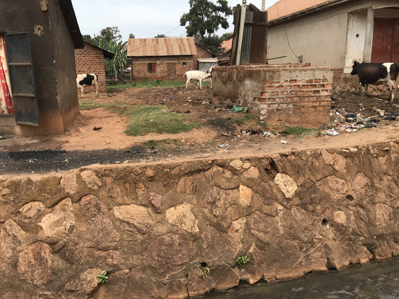 Urban cows graze near an open drain in Kampala. The excrement from livestock like these will wash into open drains during heavy rain events, spreading feces into the environment that people can come into contact with.