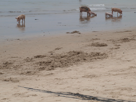 The feces from these pigs enters the ocean, while nearby children and adults swim and play in the water.