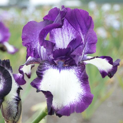 NEW Bearded Iris 'Going my Way'
