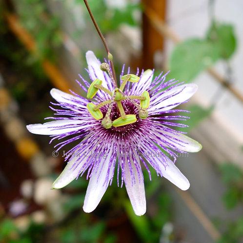 Passiflora Watsoniana