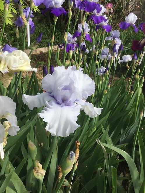 NEW Bearded Iris 'Silverado'
