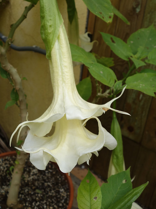 Brugmansia Lemon Meringue