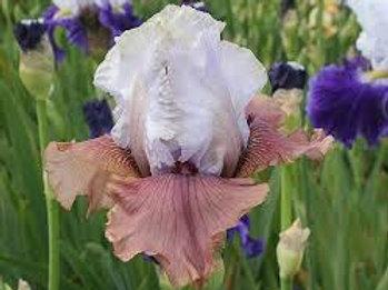 NEW Bearded Iris 'Imprimis'