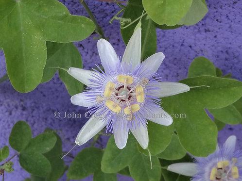 Passiflora Urubiciensis