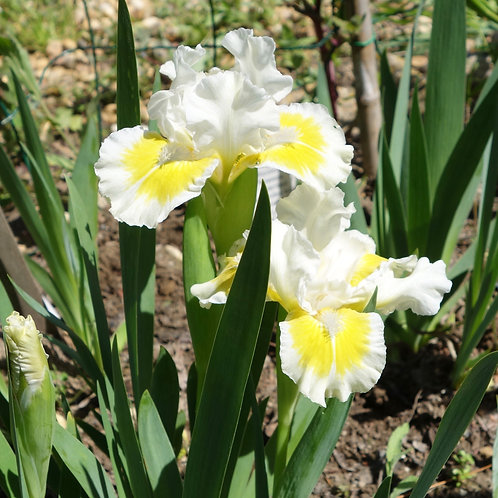Dwarf Bearded Iris 'Captive Sun'
