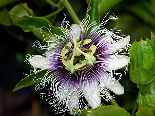 Passiflora Edulis Black Knight