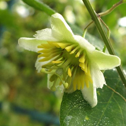 Passiflora Biflora 'Louis Manville'