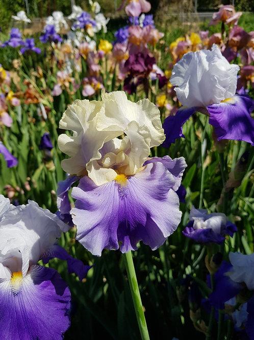 TallBearded Iris 'Mother Earth'