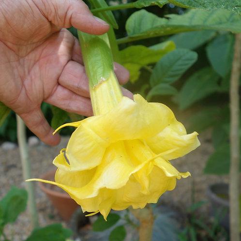 Brugmansia Yellow Sapphire
