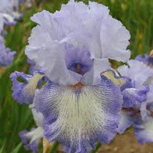 NEW. Bearded Iris 'Acoma'
