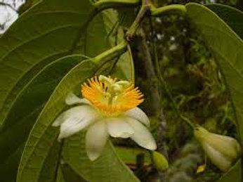 Passiflora Macrophylla