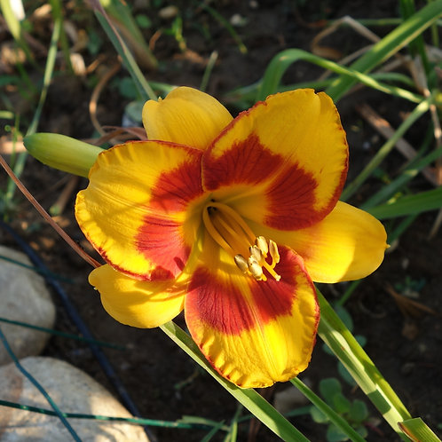 Hemerocallis Fooled Me