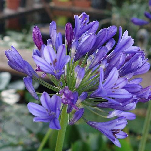Agapanthus 'Umbellatus bleu'