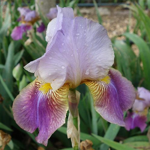Bearded Iris 'Frivolite'