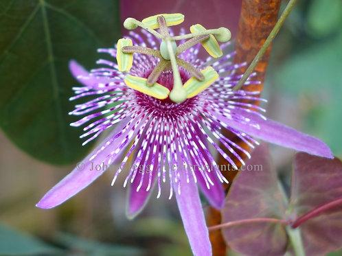 Passiflora Miersii