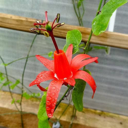 Passiflora Muracuja