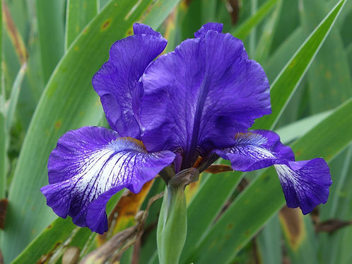 NEW Intermediate Bearded Iris 'Star woman'