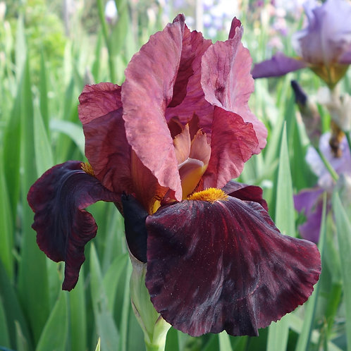NEW. Bearded Iris 'All There'