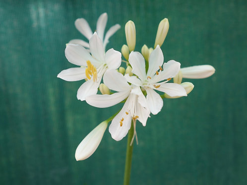 Agapanthus 'Pitchoune Blanc'