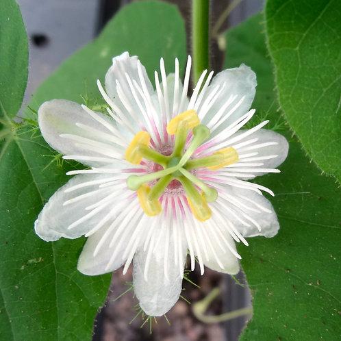 Passiflora Foetida Nova Odessa