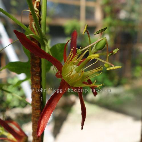 Passiflora Cinnabarina