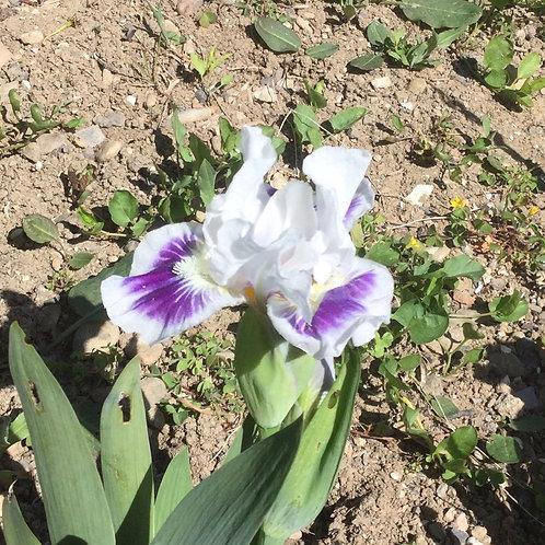 NEW Dwarf Bearded Iris 'Open your Eyes'