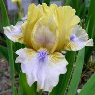 NEW Dwarf Bearded Iris 'Spring in Prague'