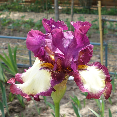 Bearded Iris 'Sing a Song'