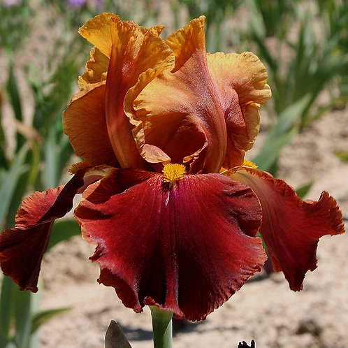 NEW Bearded Iris 'Fit the Bill'