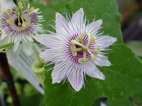 Passiflora Foetida Hispida