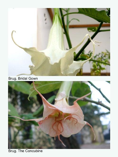 Brug. Bridal Gown X Brug. The Concubine